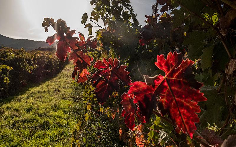 Cubiertas vegetales en viña La Pasada