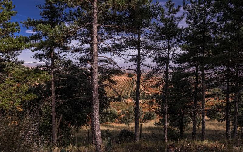 Pinares en viñedo La Pasada